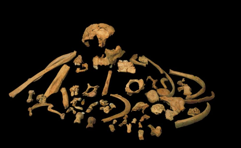 Skeletal remains of Homo antecessor — an archaic relative of modern humans — found in Spain